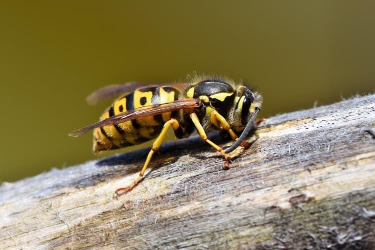 différencie une abeille d'une guêpe
